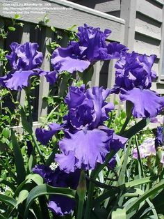 Blueberry Bliss iris , very large and sweetly fragrant flowers - Height:36-48 in zone 3a-8b
