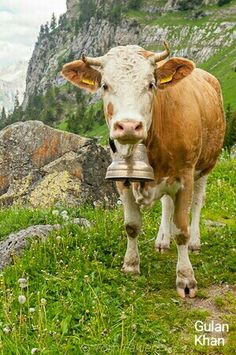 WoW Superb view of cow in Switzerland