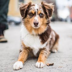 Quincy, Miniature Australian Shepherd y/o), N & Driggs Ave, Brooklyn, //the dogist Cute Puppies, Cute Dogs, Dogs And Puppies, Doggies, I Love Dogs, Puppy Love, Animals And Pets, Cute Animals, Aussie Dogs
