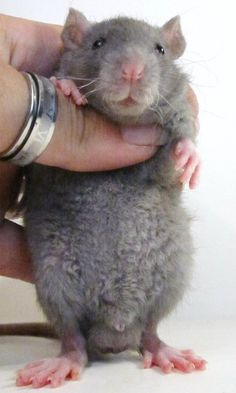 This is what Rosie is!:) Rex rat. Look even their little whiskers are curled up too!