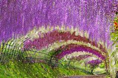 Túnel Wisteria, nos jardins Kawach Fuji, em Kitakyushu, Japão. - Se eu fosse pedir alguém em casamento, seria aqui.