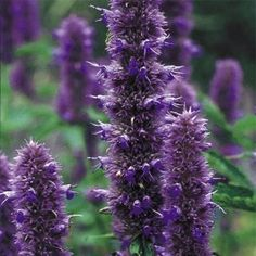 Producing eye-catching upright spikes of hooded purple blooms, Agastache Liquorice Blue makes an excellent focal point in borders.