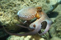 Informative description of the Octopuses Siphon. Easy for kids to understand!