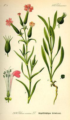 Harilik põisrohi. Silene conica. Flora von Deutschland Österreich und der Schweiz (1885).