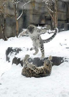 Snow leopard cub Everest plays with his mom Sarani during a snowstorm in November. Can we say that his photos were the most popular in this album? — at Brookfield Zoo.