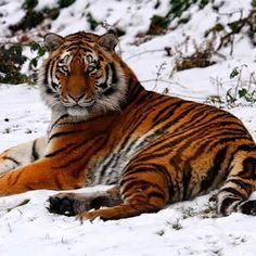 Siberian Tiger - Sources Animal Planet/Awake Magazine  Scientific Name: #Panthera tigris altaica Status: Endangered Number Remaining: estimated 450 cats Average Length: up to 10 feet Average Weight: 396-660 pounds  Also known as the #Siberian #tiger, this species of big cat was on the verge of #extinction in the 1940s. There were only about 40 left due to extensive hunting in the Russian Far East. However, the number began increasing when Russia granted the tiger full protection. The…