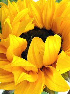 Ruffley looking sunflower