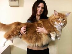 Syndicated from msn , © omar_mainecoon omar-maine-coon Meet Omar the cat. He is a breed known as a Maine coon c. Gatos Maine Coon, Chat Maine Coon, Maine Coon Kittens, Large Domestic Cat Breeds, Large Cat Breeds, Guinness, Big Cats, Cats And Kittens, Cute Cats