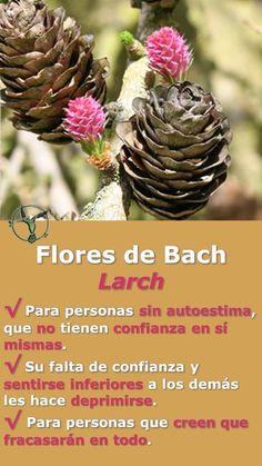 #flores #de #bach #larch #beneficios #en #espanol #remedies #salud #terapia #terapias #alternativas #autoestima #deprimirse #confianza #depresion