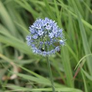 Deer resistant and a soothing color of blue. Pictured: Blue globe onion Latin name: Allium caeruleum Zone Deer Resistant Garden, Blue Fescue, Hydrangea Quercifolia, Spring Flowering Bulbs, Plant Guide, Fine Gardening, Heuchera, Soothing Colors, Black Eyed Susan