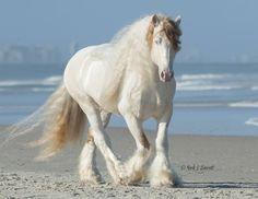 Love Biscuit aka Doc 2007 Gypsy Vanner Stallion Owned by Bar None Gypsies  © Mark JBarrett