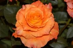 "Orange Garden Rose grown in South America  ""Free Spirit"" #OrangeRose"