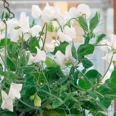 Cascading växter som bär korta stjälkar av vita blommor som kommer att komplettera andra objekt . Höjd 20 - 30cm ( 9-12