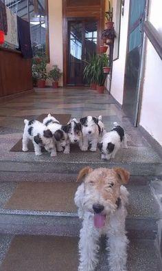Wire hair mum & puppies