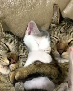 """Gefällt 211.3 Tsd. Mal, 3,241 Kommentare - Cats of Instagram (@cats_of_instagram) auf Instagram: """"From @midorinotanbo: """"今日も、おやすみなさい〜〜."""" #catsofinstagram"""""""