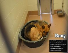 At the Riverside County Animal Control Shelter in Coachella, California, a young German Shepherd is losing all hope of ever being adopted. The dog, whose name is Roxy, was surrendered to the shelter on February 17, 2016. In the days, and weeks that have gone by, all potential suitors have one look at poor Roxy …