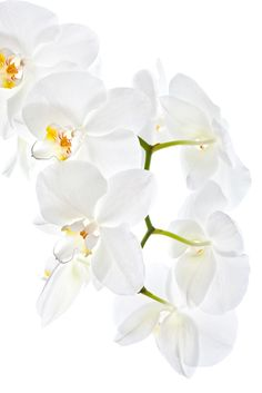 Weiße Orchideen Vertikal Fototapete - € 14,95 pro m2!