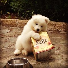 Samoyed and beer pack