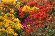 flamboyanes de puerto rico - fotos | de julio de 2008