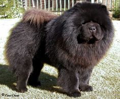 Red rough and smooth chow chow puppies Rote raue und glatte Chow-Chow-Welpen Chubby Puppies, Buy Puppies, Dogs And Puppies, Doggies, Perros Chow Chow, Chow Chow Dogs, Chow Puppies, Animals And Pets, Baby Animals
