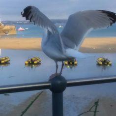 Glorious seagulls (cheeky birds) St Ives