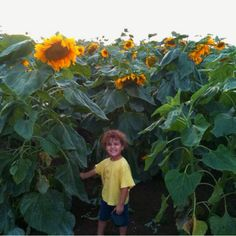Sunflowers in the Jezreel Valley