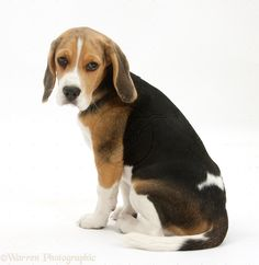 From Snoopy to Underdog, the Beagle has been portrayed in a variety of pop culture media including comic strips, animated cartoons, and movies. This breed frequently ranks in the top five most popular dogs in the United States and in the top 30 in the United Kingdom. They are medium-sized, even-tempered, and usually free of genetic diseases. Their keen sense of smell makes them valuable for hunting as well as for sniffing out prohibited substances in agricultural imports.