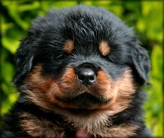too cute rottweiler pup Rottweiler Puppies For Sale, Rottweiler Love, Cute Puppies, Dogs And Puppies, Doggies, Chihuahua Dogs, German Rottweiler, Vizsla Puppies, Hunting Dogs