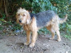 "Bosnian Coarse-haired Hound Dog ""Barak"""