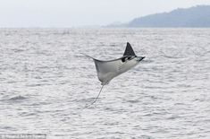 Probably one of my favorite sea creatures hands down. -Chelsea. Love these manta rays.