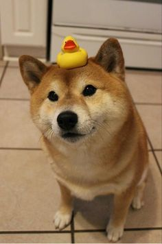 Has anyone seen my duckie? #shiba #rubberduckie