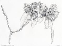 This is one of my Rhododendron graphite works generated from my Nepal travels exploring and drawing the wildlife and nature of the Annapurna Region Botanical Drawings, Botanical Art, Botanical Illustration, Illustration Art, Nature Illustrations, Graphite Drawings, Pencil Drawings, Drawing Skills, Drawing Sketches