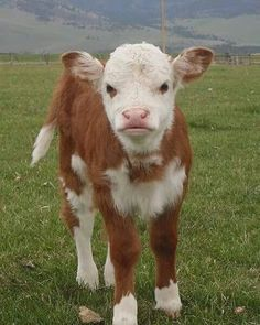 13 Cute Animal Pictures for Your Day on Love Cute Animals Cute Baby Animals, Farm Animals, Animals And Pets, Funny Animals, Wild Animals, Cute Baby Cow, Beautiful Creatures, Animals Beautiful, Fluffy Cows