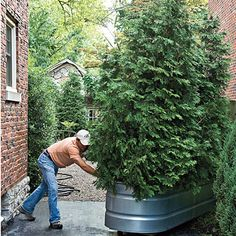 Get creative with your containers. This living gate rolls open to let you in and rolls closed for privacy. The structure starts                                            with a galvanized horse trough filled with soil and planted with arborvitaes. A wooden brace attached to an old piano dolly on the bottom allows the container to move with little effort.