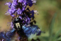 Some Spanish Bees Carpenter Bee, Little Island, Blue Eyes, Bees, Spanish, Wordpress, Fun, Worker Bee, Bee
