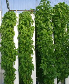 Sweet Basil Grows like Crazy in ZipGrow Towers! | Foodarian