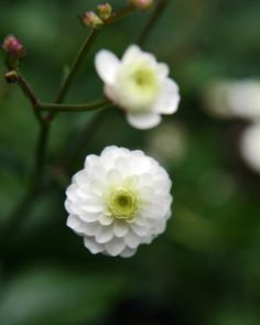 Stormhattsranunkel I Ranunculus aconitifolius 'Flore Pleno' I Zetas Trädgård Dogwood Flowers, White Flowers, Beautiful Flowers, Outdoor Plants, Garden Plants, Moon Garden, White Gardens, Ranunculus, Tropical Garden
