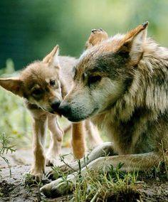 Liggende wolf met pup
