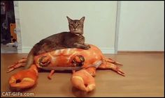 """CAT GIF • Funny & proud Cat riding his giant crab toy. """"They see me rolling... they hatin'"""""""