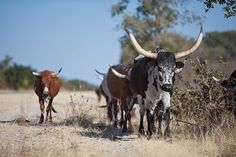 Nguni Cattle of the Caprivi - Africa Geographic Animals Of The World, Animals For Kids, Farm Animals, Cute Animals, South Afrika, African States, Farm Yard, Photos, Pictures