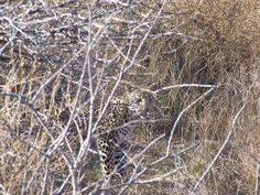 Leopard cubs seen for the first time on Okonjima Game Reserve, namibia