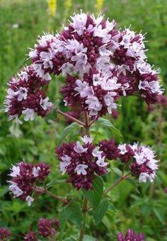 Herb Garden, Herbs, Plants, Herbs Garden, Herb, Plant, Planets, Medicinal Plants