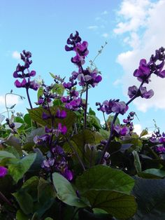 Purple hyacinth bean vine for garden trellis.  How to save seeds for following year.