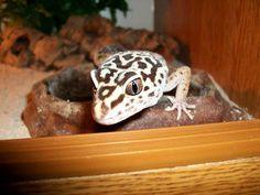 Leopard Gecko    by Helen Broomfield