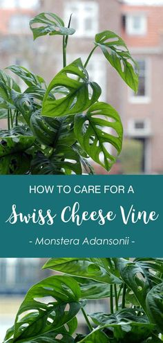 All the info in one place. The Monstera adansonii or Swiss Cheese Vine plant is the smaller relative of the famous Monstera deliciosa and quite often mislabelled as Monstera obliqua, a much rarer family member. Find out how to best care for your Monstera adansonii, how to propagate your vines, and what the most common problems are. And how to fix them! | Read More at modandmint.com | #monsteraadansonii #monstera #swisscheesevine #indoorplants #houseplants #hangingplants #indoorgardening