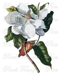 MAGNOLIA Instant Donwload Large Digital Images, vintage botanical illustration wedding clipart 060