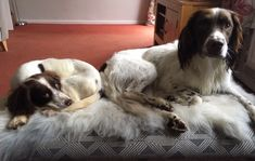 Say hello to Raffi and Bramble. how gorgeous are these two? Happy customer Jen Burt emailed after the new fleeces arrived to say 'Of course the boys have made themselves at home immediately! Bramble, Say Hello, Fans, Happy, Animals, Animales, Animaux, Ser Feliz, Animal
