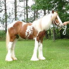 "Gypsy Vanner filly ""Feathered Gold Red Velvet"" -- click image to see her 2009 baby pictures"