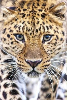 Male amur leopard wildlife heritage uk wallpapers hd wallpapers - Wallpapers For Desktop - Katzen Leopard Face, Amur Leopard, Leopard Animal, Snow Leopard, Animal Jaguar, Beautiful Cats, Animals Beautiful, Jaguar Tier, Animals And Pets