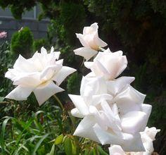 bellisimas rosas..